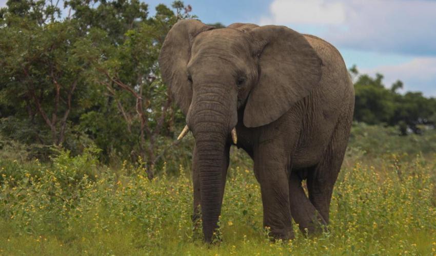Elephant – /ˈel.ɪ.fənt/: Von voi
