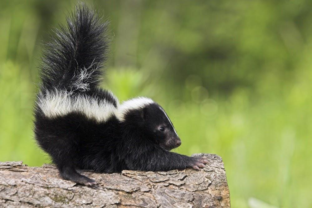Skunk – /skʌŋk/: Chồn hôi