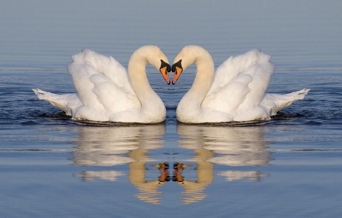 Swan /swɒn/: thiên nga