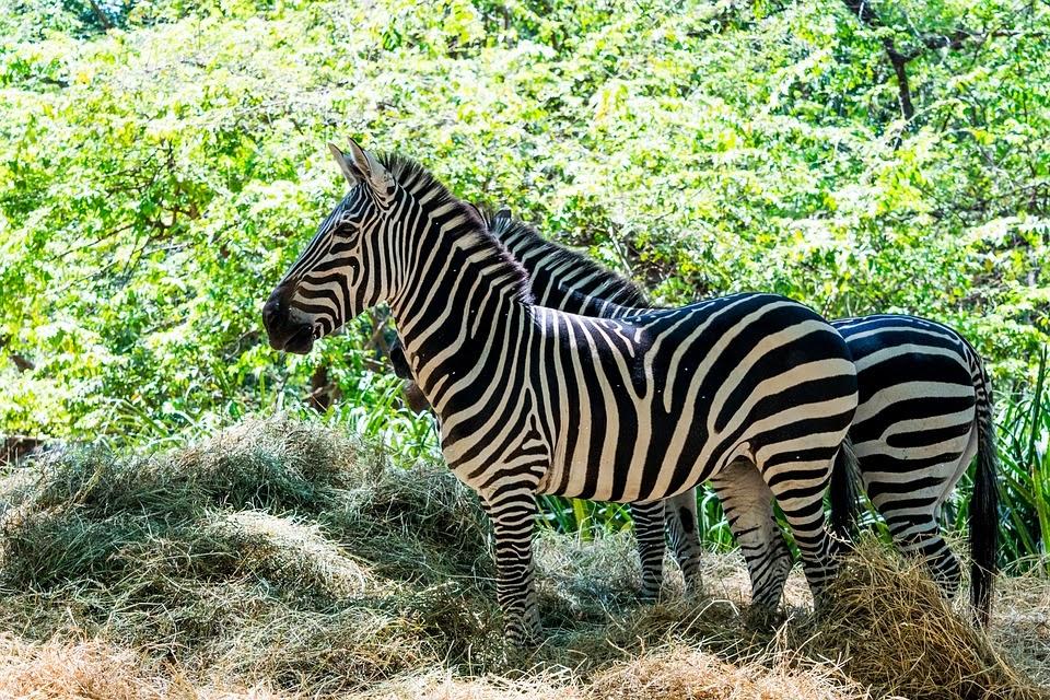 Zebra/ˈziː.brə/: ngựa vằn